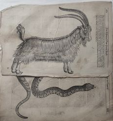 2 prints by Edward Topsell (ca 1572-1625) - The History of Four-Footed Beasts and Serpents showing an Goat and Snake - 1658