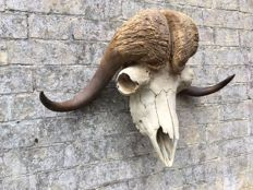 Taxidermy - large male Musk Ox skull -  Ovibos moschatus - 630 x 580mm - 6700gm