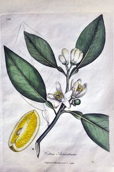 7 botanical pages from William Woodville (1752-1805) 'Medical Botany' - 1793-1794