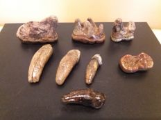 8 teeth of a cave bear Ursus spelaeus, 1 molar, fragment 3 molars, canine tip and 3 incisors (8)