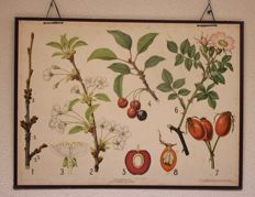 Authentic school wall poster from around 1950 Kirsche und Rose