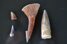 Lot of teeth of Pterosaurus, Cocodile, Onchopristis and Spinosaurus - 60 – 15 mm (4)