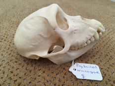 Taxidermy - complete female Southern Pig-tailed Macaque skull - Macaca nemistrina - 115 x 70 x 72mm - 62gm