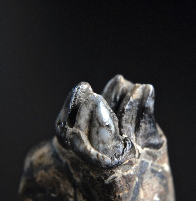 Jaw fragment with tooth of a hippopotamus - Hexaprotodon simplex - 55 mm