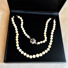 Beautiful Necklace with 64 Genuine Japanese Sea Salt Water Akoya Pearls set with 18Kt. White Gold Large Clasp with Sapphires . Excellent condition. * NO RESERVE PRICE  *