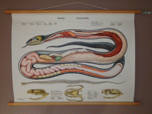 Very Nice Old School Anatomical Poster Of The Grass Snake Catawiki