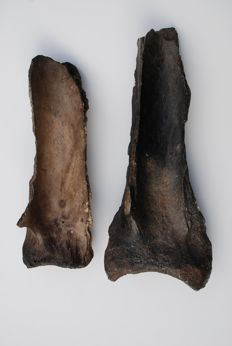 Woolly Mammoth (Mammuthus primigenius) - Two Shoulderblades - length 53-47 cm (2)