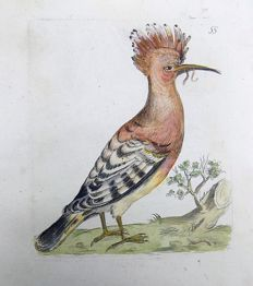 Pierre Remi Willemet (1735 - 1807) - Ornithology - Master engraving - Hoopoe - 1794