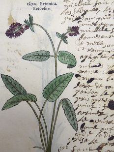 Leonhart Fuchs (1501 – 1566) - 2 x botanical woodcut prints on one leaf: Botany: Hedgenettle, Betony, Purple betony, Wood betony, Bishopwort, or Bishop's wort [ Betonica, Stachys officinalis ] - 1549