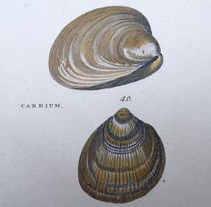 Thomas Pennant (1726-1798) - Mactra and Cardium Bivalve Clams [ Mactridae; True cockles ] - fine hand colour - 1768