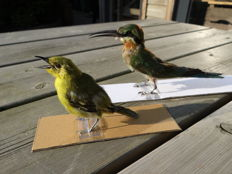 Taxidermy- Blue Tailed Bee-Eater - (Merops philippinus) - CommonLora-  (Aegithina tiphia) (2)