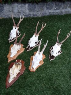 Collection of antique Roebuck Trophies on shields - Capreolus capreolus - 13 x 22cm  (6)