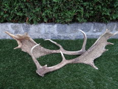 Set of  Large Fallow Deer antlers - (Dama dama) - 60x25x20 cm (2)