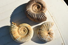 Lot of Oxfordian ammonites from Madagascar - 565 g - with mother-of-pearl (3)