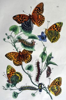 "2 butterfly pages by John Obadiah Westwood (1805 - 1893) - From ""The butterflies of Great Britain, with their transformations delineated and described, 1854"
