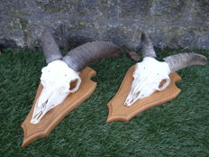 2 young Mouflon Ram skulls on wall-plaque - Ovis musimon - 17x30x13 cm