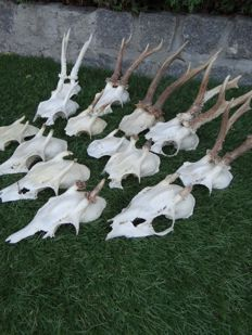 Lot with vintage male Roebuck skulls  with antlers - Capreolus capreolus - 7 to 12cm (14)