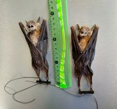 Taxidermy - pair of Greater Short-nosed Fruit Bats - Cynopterus sphinx - 15cm  (2)