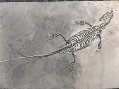 Swimming reptile - Keichousaurus hui - 15.7 cm (18.5 cm in stretched position)