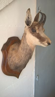 Taxidermy - Chamois - Rupicapra rupicapra - 54 x 27 cm