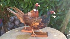 Vintage taxidermy - brace of Ring-necked Pheasants - Phasianus colchicus - 60x35cm and 60x40cm  (2)