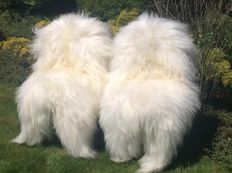 Pair of fine off-white, long-haired sheepskins - Ovis aries. - 130 cm  (2)