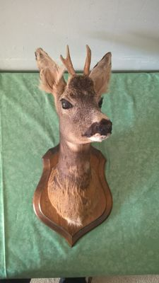 Taxidermy - Roebuck mount on wall-shield - Capreolus capreolus - 55 x 25cm