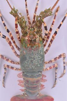 Large Vietnamese Green Lobster in custom-made plastic case - Nephropidae sp.