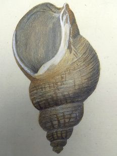 2 x engravings - Thomas Pennant (1726-1798) - Buccinum Shells, Whelks - fine hand colour - 1768