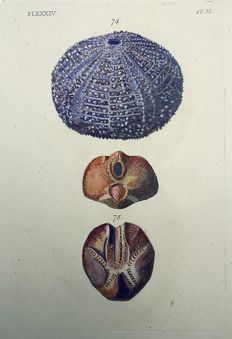 Thomas Pennant (1726-1798) - Edible Echinus esculentus - Sea Urchin - fine hand colour - 1768