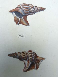 Thomas Pennant (1726-1798) - Strombus Shell - Conch - fine hand colour - 1768