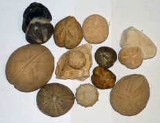 Lot of fossil urchins (11)