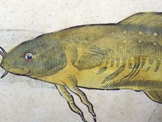Conrad Gesner (1516 - 1565); folio leaf with 4 large woodcuts - Ichthyology, Fish: Catfish, Cod, Rocklings, Burbot, Weever - 1669