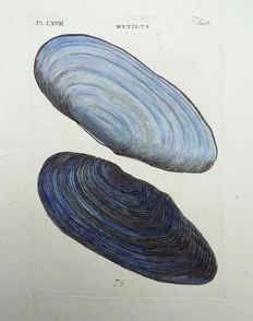 Thomas Pennant (1726-1798) - Mytilus Shell - Saltwater Mussel - Marine Bivalve Mollusc - fine hand colour - 1768