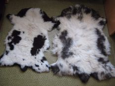 Fine pair unusual Jacob Sheep skin - Ovis aries - 103 x 75cm and 90X58cm (2)