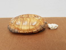 Taxidermy - African Mud Turtle, full carapace with skull - Pelusius castaneus - 14cm  (2)