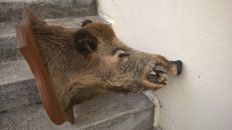 Vintage French Wild Boar head on shield - Sus scrofa - 60 x 45 x 60cm