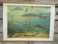 Beautiful roll-up linen school poster: Freshwater fish