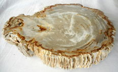 Beautiful slice of petrified wood - 310 x 50 mm - 5.3 kg