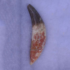 Archotherium tooth approximately 11 cm