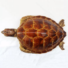 Taxidermy - Hawksbill Sea Turtle - Eretmochelys imbricata - 52cm - CITES Article 10 No. 16-PT-LX05858/C