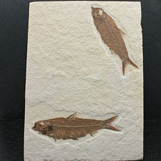 Double fish on the same plate - Knigthia eocaena - 17,6 x 12,6 cm