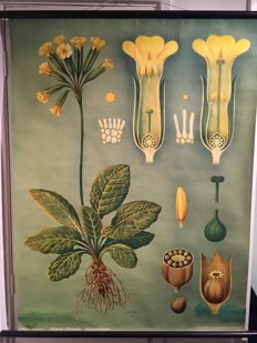 2 Old zoological school posters Biology Jung Koch Quentell Primrose and Goose