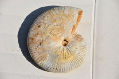 Beautiful ammonite - taramelliceras externnodosum - 10.5 cm - 255 g - with mother-of-pearl
