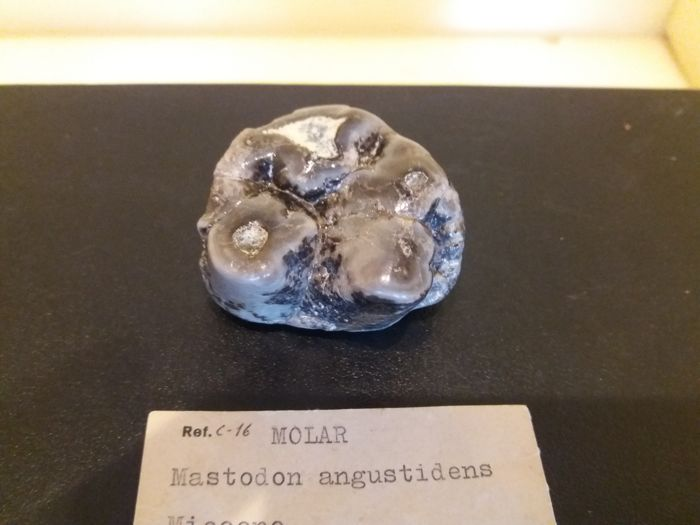 Gomphotherium angustidens molar 5.0 x 4.0 cm