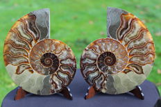 Ammonite Aioloceras sp. - 152 x 123 mm - 711 g