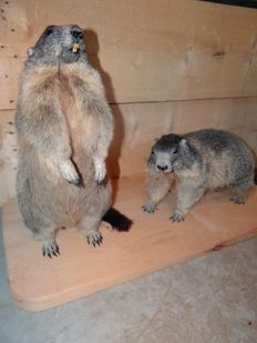 Taxidermy - Alpine Marmots - full-body mounts -  Marmota marmota - 95 x 38 x 50cm  (2)
