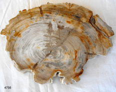 Beautiful slice of petrified wood - 270 x 25 mm - 2.3 kg