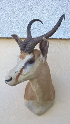 Fine vintage taxidermy - Springbok shoulder-mount, right turn - Antidorcas marsupialis - 77 x 38 x 50cm