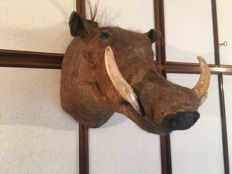 Taxidermy - fine, large African Common Warthog head-mount - Phacochoerus africanus - 28 x 60 cm